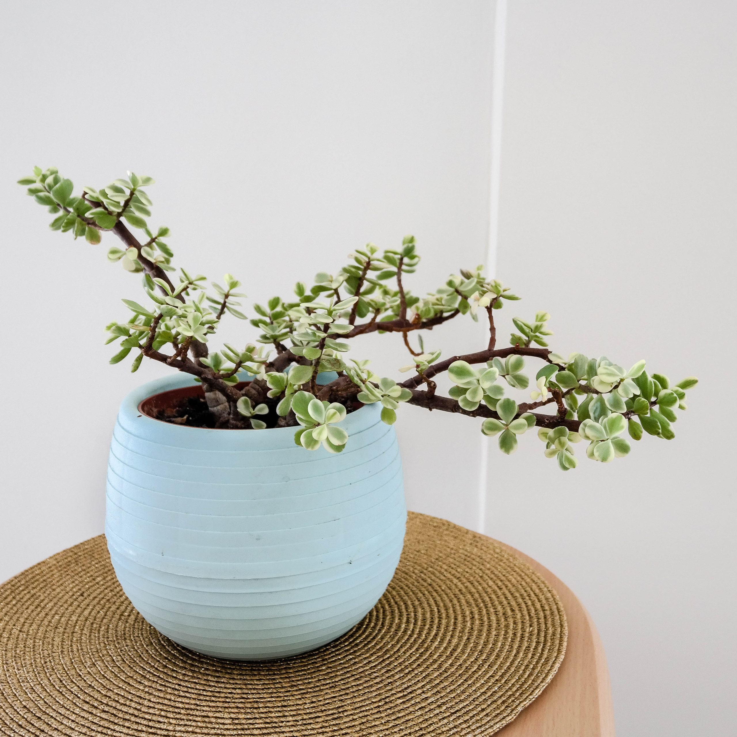 white and green leafy bonsai tree in teal ceramic pot on table